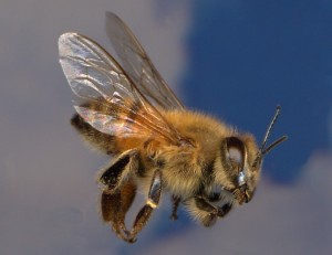 The African Bee from which the books bees are based are known colloquially as 'Killer Bees'.